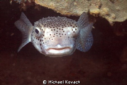 Porcupine Fish at the Fish Camp Rocks off the beach in Fo... by Michael Kovach